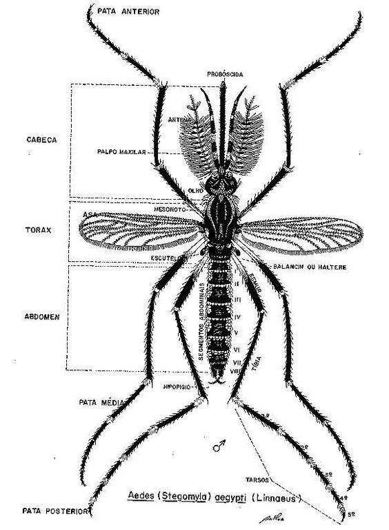 Dengue - Dicas, Sintomas e Tratamento -3