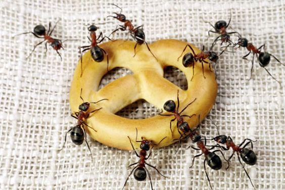 Dicas Naturais de Como Acabar com as Formigas em Casa